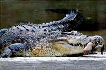 دست کارمند باغ وحش زیر دندانهای تمساح!