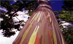 درخت رنگین کمان, عکس درخت رنگین کمان, اوکالیپتوس