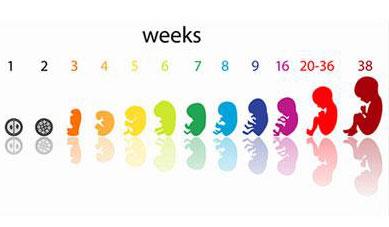 جنین هفته هفتم بارداری