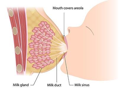 تولید شیر مادر,نحوه تولید شیر مادر,افزایش شیر مادر