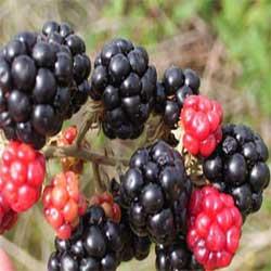 میوه های افزایش هوش