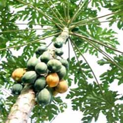 خربزه درختی