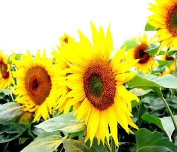 خواص حبوبات, انواع سبزيجات, خواص آفتاب گردان, خواص سبزيجات, انواع ميوه, سبزي, گل آفتاب گردان,خواص مواد غذايي, گل آندرشت, ميوه, آمریکا,