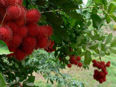 میوه رامبوتان , خواص رامبوتان