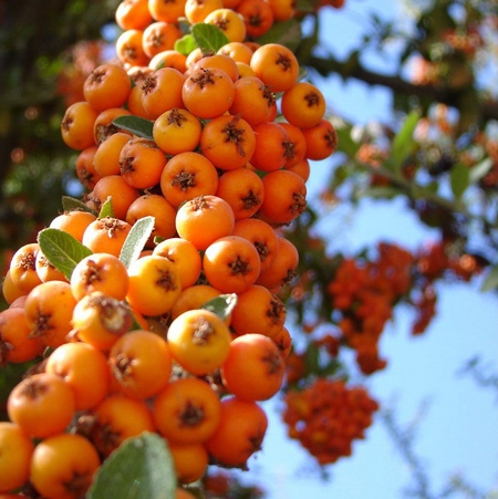 [تصویر:  properties2-autumn-orange-fruits4.jpg]