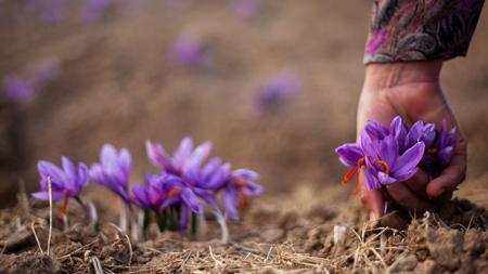 گلبرگ زعفران,خواص گلبرگ زعفران