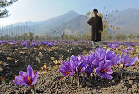 خواص گل زعفران,فایده های گل زعفران