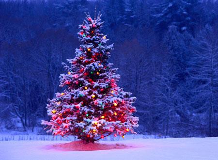 رخت کریسمس, نهال صنوبر