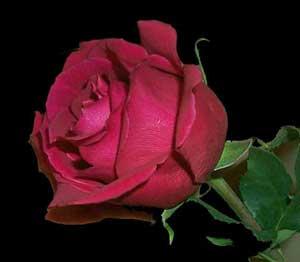 فرهنگ و هنر:  روز گل وگیاه