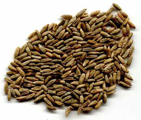 خواص گندم سیاه,آشنایی با گندم سیاه