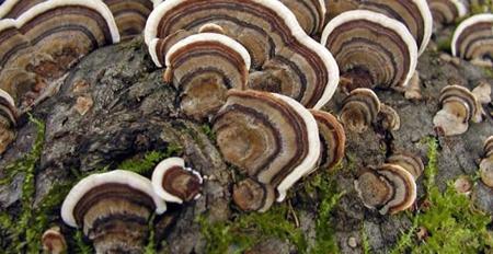فواید داروئی قارچ دم بوقلمون, فایده های قارچ دم بوقلمون