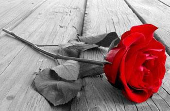 گل رز قرمز, مطالب خواندنی کوتاه