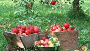 معمای تعداد نفرات داخل باغ که سیب چیدند