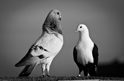 ضرب المثل کبوتر با کبوتر ، باز با باز