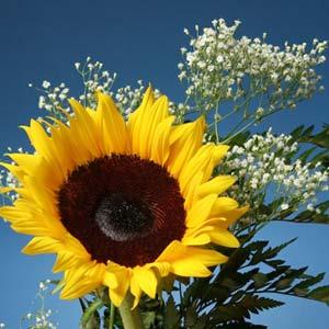 داستان عاشقانه گل آفتابگردان