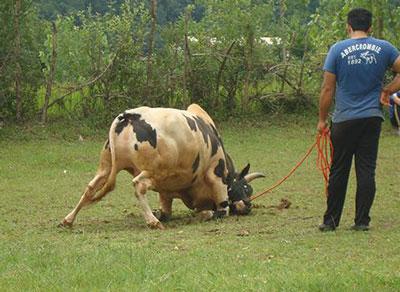 بازی محلی «گاو دارم»