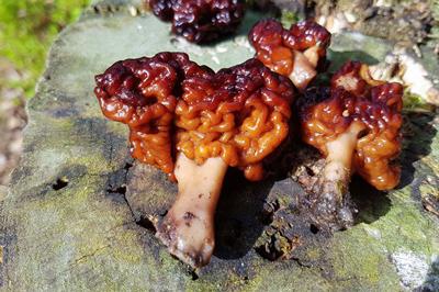 مسمومیت قارچی, مسمومیت با قارچ فاسد