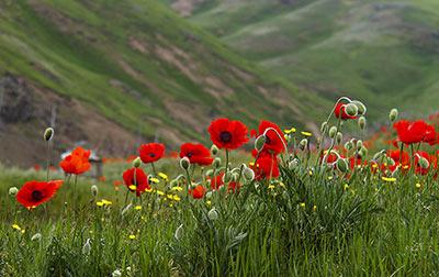 شقایق سرخ, گل شقایق سرخ, خواص درمانی گل شقایق سرخ