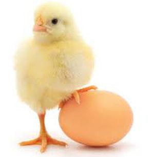 درمان کم خونی, تخم بلدرچین, تخم بوقلمون