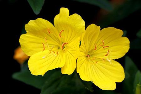 خاصیت گل پامچال