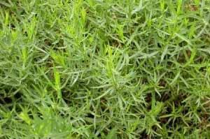 نوعی سبزی ضد رماتیسم
