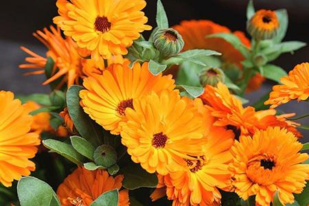 «گل هميشه بهار» تب بر است