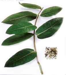 داروی گیاهی در درمان سینوزیت