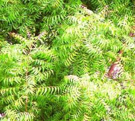 گیاه چریش آکنه را درمان می کند