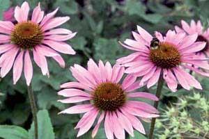 سرخار گل، افزایش دهنده گلبول های سفید