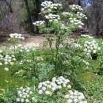 سمی ترین گیاهان جهان, گیاهان سمی, گلهای سمی