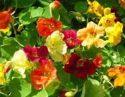 گل لادن, خواص گل لادن, خاصیت گل لادن, گیاه گل لاد