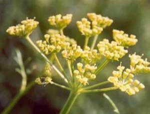 فواید گیاه دارویی آنغوزه,گیاه دارویی آنغوزه