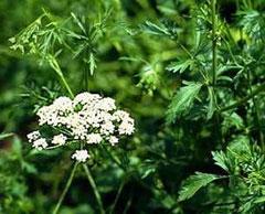 داروهای گیاهی,خواص داروهای گیاهی,جوشانده گیاهی