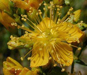 ضدافسردگی,گیاهان ضدافسردگی,درمان ضدافسردگی