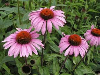 آشنایی با خواص و فواید سرخار گل