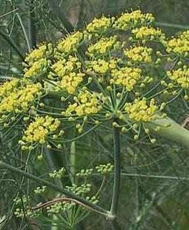 گیاهان دارویی,عکس گیاه رازیانه