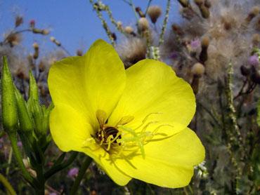 گل مغربی,خواص گل مغربی,خاصیت گل مغربی
