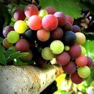 دانه انگور,خواص دانه انگور,خاصیت دانه انگور,خواص درمانی دانه انگور