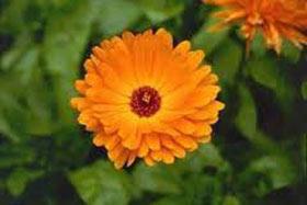 گل هميشه بهار