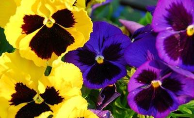 داروهای گیاهی ضدپيری,گیاهان دارویی ضدپيری