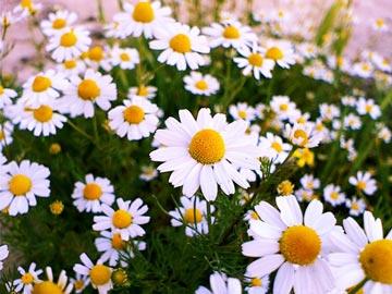 گیاهان آرامبخش,داروهای گیاهی خواب قوی