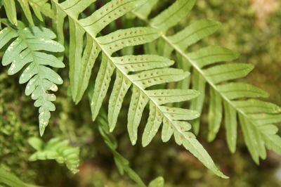 خاصیت گیاه بسفایج,خواص درمانی گیاه بسفایج