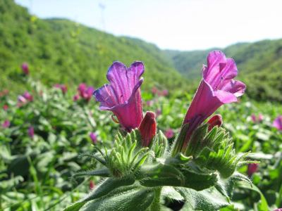 خاصیت گیاه گل گاو زبان,گیاه گل گاو زبان
