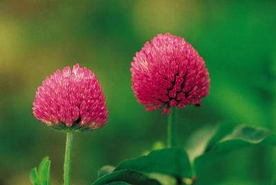 گیاهانی که برای پیشگیری از سرطان مفید اند!