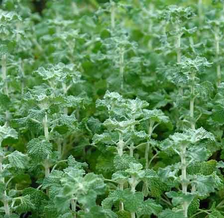 گیاه افنان, گیاه افنان چیست, خواص گیاه افنان