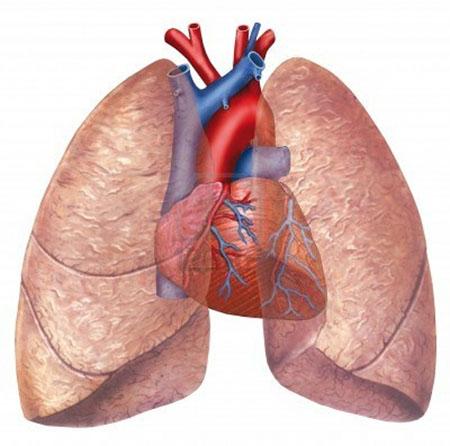 نتیجه تصویری برای تصویری از ساختمان قلب و ریه ها: