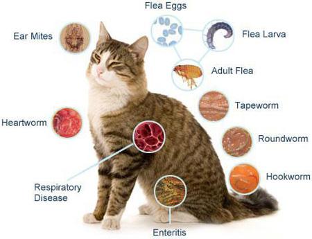 نشانه های بیماری گربه,بیماری گربه,انگل گربه