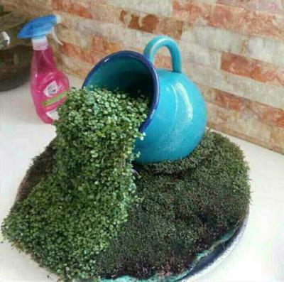 نحوه کاشت سبزه آبشاری,نکاتی برای کاشت سبزه آبشاری