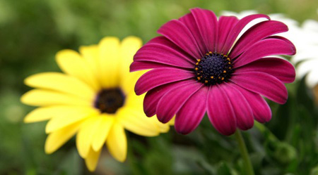 گل زیبا , گل یاس