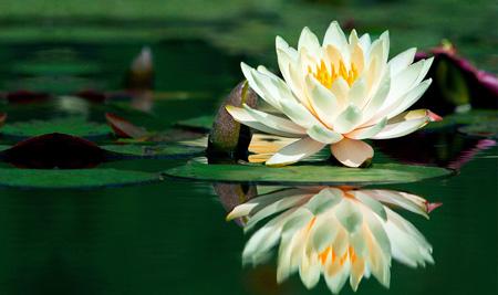 دسته گل عروس, گل زیبا